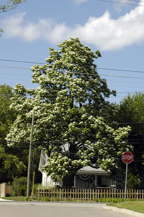 Catalpa (C. speciosa) sports big, fragrant flowers when many others trees are done and gone to green. It catches the eye!