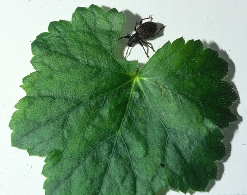 Black vine weevil and the notch it ate from a coral bell (Heuchera) leaf in one night.