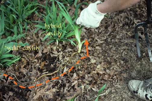 "The wild ""ditch lily at the far left edge of this photo sent a runner 24"" to the right, where it came up snug against the crown of a neighboring, hybrid daylily. Janet's loosened the soil with a fork and lifted out the running root (orange line parallels the runner root she's exposed). The leaves of this aggressive running daylily are wider and usually paler in color than the hybrids around it, but that distinction is all too easy to overlook as the wild thing takes over."