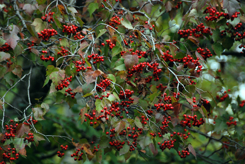 As this hawthorn's haws mellow in late winter, they will draw crowds of birds.