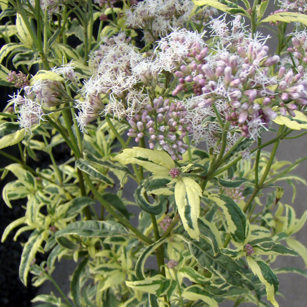 You mentioned that you were explaining to a reader recently how there are several plants all called Joe Pye so she shouldn't think hers was mislabeled just because it wasn't the same as one you showed. How about this Joe Pye?! How's that for a different look? - Cheryl Bennerup, Sunny Border Nursery -