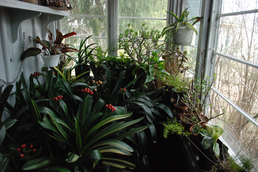 At another of the great nurseries of our time, Glasshouse Works in Stewart, Ohio (glasshouseworks.com), no one's fussing over-much about overwintered plants. They're set out en mass on a barely heated glassed-in porch and left to keep each other company.