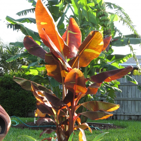 Now, the banana Cheryl Bennerup showed me (bottom, right: Musa 'Siam Ruby') I might love that anywhere, even listening to it whine all winter! Photo courtesy of Sunny Border Nursery