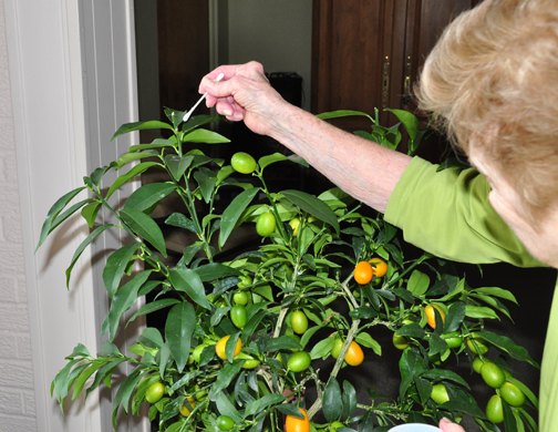Trudy starts mealybug cleanup on her kumquat. Even if this plant can survive temperatures into the teens, that cold would take its fruit and leaves.