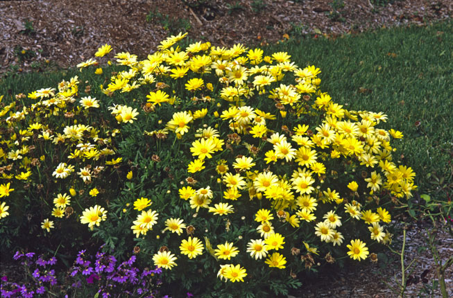 "Perennial confusion puts the ""argh"" in argyranthemum. These plants bloom all summer -- just keep those spent daisies deadheaded -- yet the tag says ""perennial."" Sounds too good to believe, and unfortunately that's the case."