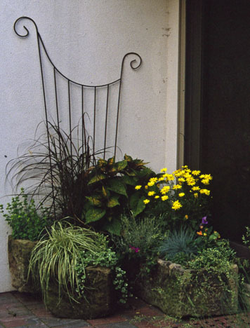 Yellow Argyranthemum brightens the doorway here, keeping company with another perennial-that-isn't, purple fountain grass (Pennisetum setaceum 'Rubrum'). Both are perennial in the far southern warmest zones in North America, but are grown as annuals everywhere else.