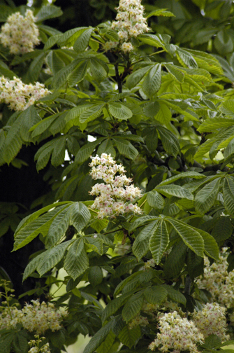 In our town 150 years ago, a man planted trees. He loved the   horsechestnut (Aesculus hippocastanum); many remain, their blooms   providing a fine 'welcome back' to hummingbirds each spring.