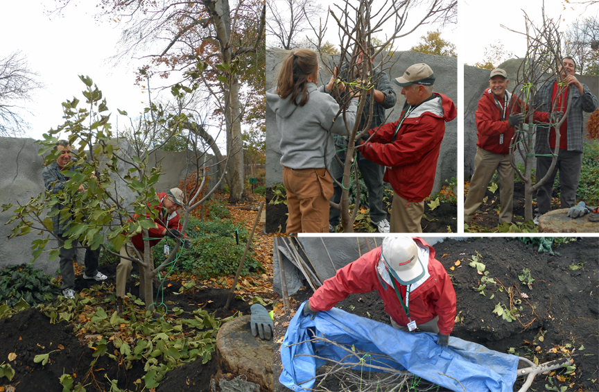 The Minnesota Tip method can be applied to many plants to buy a zone or two of protection from winter cold: To tree-form roses to protect the top graft, to blue hydrangeas, crape myrtles in cold zones... Here we tip a fig tree to handle a zone 5 winter.