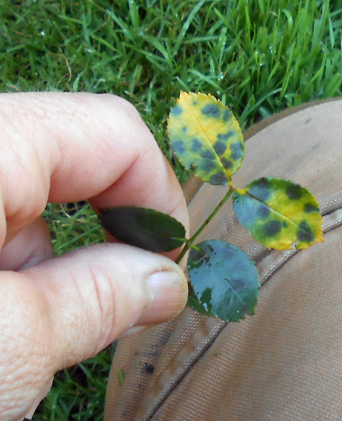 To keep ahead of rose black spot, don't let any of these black-spot-infected leaves remain in the garden. That way the total spore count in the area will be less.