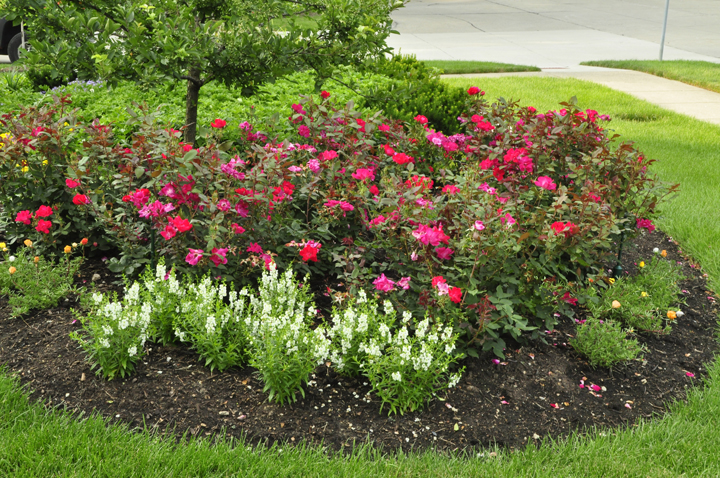 The Carefree shrubs roses (right) are resistant to black spot, but that doesn't mean they are immune. Even resistant rose varieties like these are prettier and more floriferous after infected leaves have been taken away.