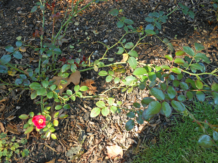 In fall, light comes at a low angle. Shadows can confuse our garden work, such as noticing and removing diseased rose leaves. Look twice, and stay the course! Roses need daily care, right to the end of the season.