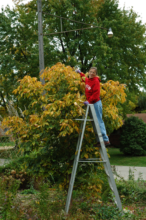 "The first step in keeping trees and shrubs in bounds is to set firm limits. We are willing to let our own red horsechestnut (Aesculus x briotti 'Carnea') grow to its full potential, 30 to 40 feet tall and round. In smaller quarters in a client's collection, we might set its maximum height at ""Janet plus a ladder"" so we could prune as needed without special equipment."