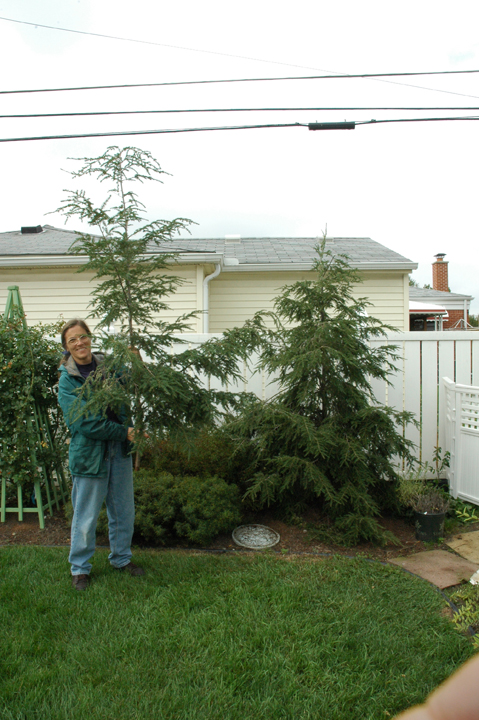 Here's another good reason to do restriction pruning of evergreens in fall. The top of this hemlock will make a beautiful small Christmas tree, and the clippings from side branches can make a wreath for the door.