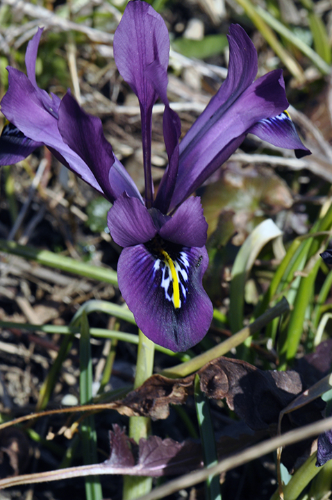 These purple species Iris reticulata bloom earlier than the blue-violet variety 'Harmony' at right. We have both and can't ever remember later in spring which were where.