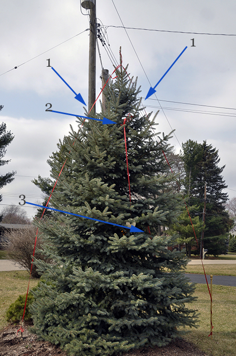 First we checked to be sure the tree has foliage deep enough into its interior to remain healthy and full after the cut. To help you see how we did that and what we will do, we've outlined the tree's outer edge with red ribbon from its tip to its base (1). That illustrates the angle of taper the tree would like to have. We tied another ribbon at the point (2) we intend to be the tree's new top. We tied a third ribbon to the point that will be the new top, and ran it at the same angle as the current taper, to the tree's base. (3). This ribbon is nearly hidden inside the tree's foliage, but you can see it at the point of arrow 3. And you will see it clearly once we prune and it becomes the new outer edge.  Where the inner ribbon crosses the lowest branches tells us whether we can proceed to take off  so much height and width . If the lowest limbs have enough depth of foliage inside that line so that they will still be well needled after we cut, we have the green light. These pass the test.