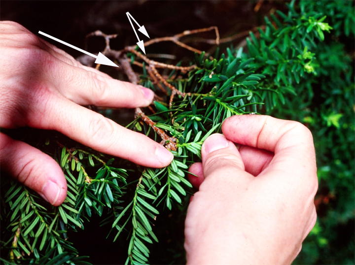 When sheared, the plant branches right there. If these yew tips are sheared again, the space now occupied by three or four twigs will be crammed with eight or more, all vying for the same light space.