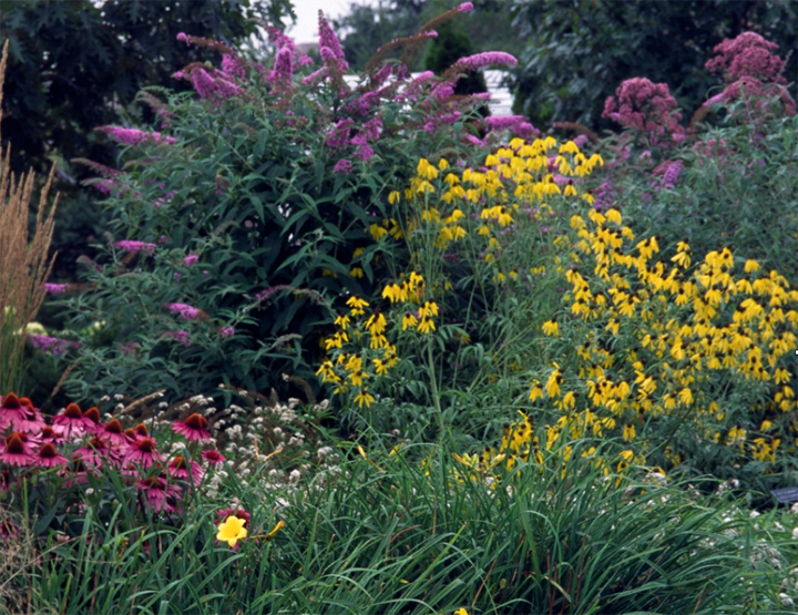 Butterfly bush in bloom is colorful for many weeks in late summer and fall. However, a main player in a perennial design should be an addition to the garden even before its bloom time.