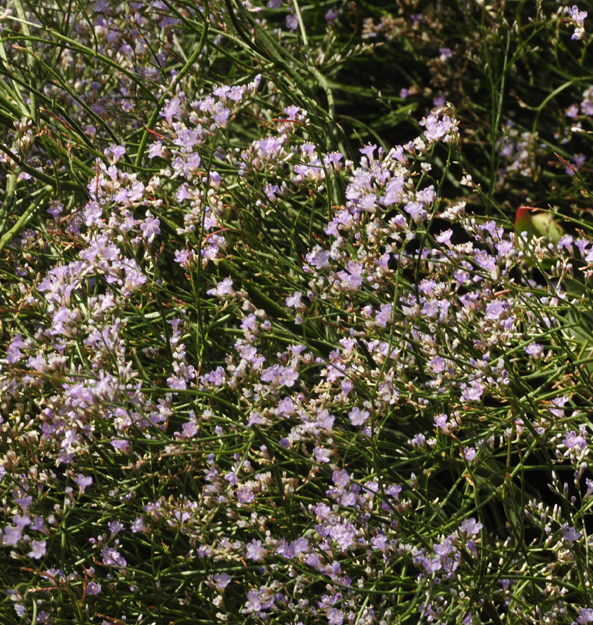 If several plants offer equally good form and texture, we can look at how they fulfill additional objectives and choose the plant that offers the most. For instance, sea lavender is not only fine and neatly mounded from bloom time until fall, it is low care because it's neat into fall as its lilac-colored bracts remain intact even in seed