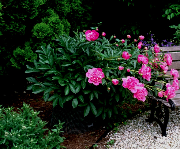 The bloom season may be short, but if the peony can resist its species' leaf diseases its neat mounded form and substantial foliage can act as companion, backdrop to other plants all summer.
