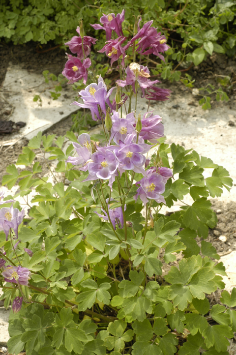 Columbine: It's SO PRETTY when it's blooming, and free of insects. But it's a bit tatty after bloom, insects or no (going, going... at center and right). So Option 4 actually becomes an attractive idea.