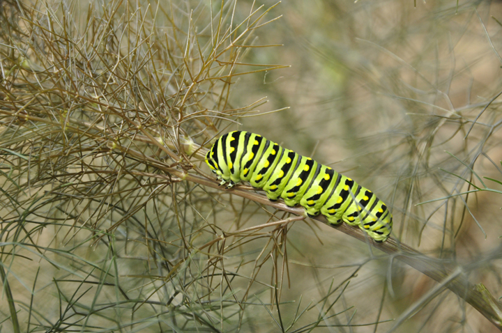 Eastern black swallowtail caterpillar on fennel. Below: The adult butterfly just emerged from the chrysalis.