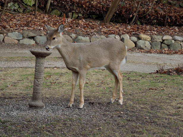 Sheryl Kammer caught these photos of deer in her garden. When they're so accustomed to people that they drink from birdbaths right out in the open, and pose for the camera, it's a good idea to protect shrubs and trees in advance from buck rubs and general browsing. Photos ©2012 Sheryl Kammer