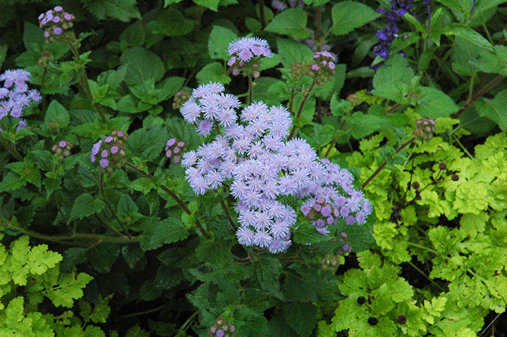 "A good friend who is a great grower with a fabulous garden center filled us in about late blooming perennials that are slow risers in spring, such as blue mist flower (Conoclinum caeruleum also called perennial ageratum). ""It's a great plant but really hard to sell. They're nothing but pots of dirt in spring so people walk right be them. We can't afford to waste the display space. And by the time they bloom and people would snatch them up, business is way down -- there are few takers because it's the end of summer."""