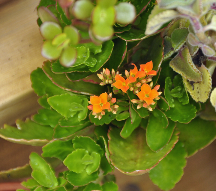 Kalanchoe will bloom for months.