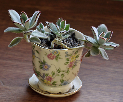 Kalanchoes come easily from cuttings. Here in a teacup pot, a young 'Chocolate Soldiers' kalanchoe from cuttings.