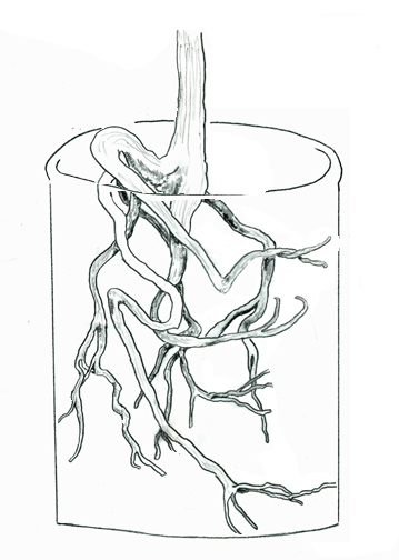 Shrubs, trees and perennials grown in containers also share the potted houseplant's rooting pattern. Here is a drawing of an actual root system of a shrub grown in a container.
