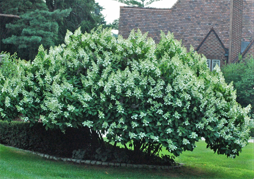Panicle hydrangea (H. paniculata) is a summer blooming beauty, 8-10' tall and half again as wide. Left on its own in adequate space, as here, the gardener might just remove some old wood every year or two and otherwise just enjoy this low care star.
