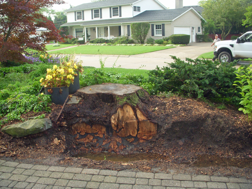 "We used a stump grinder to cut away one side of this maple trunk. Look how deep the wood extends and you can understand why a new plant wouldn't flourish when planted there. It may be in an 8-inch deep, wood-bottom, sawdust-filled ""container!"""