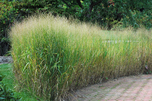 Garden a to z big hedges for Ornamental grasses that grow tall