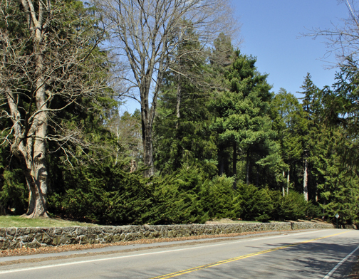 No pruning needed, Wardii yews make a naturally dense, 6-8' tall, 10-12' wide evergreen hedge.
