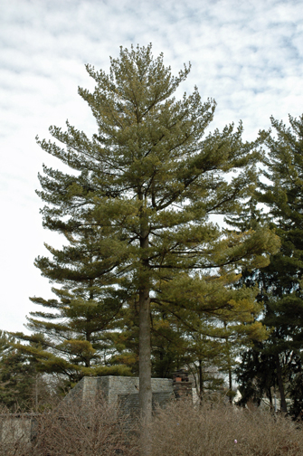 Austrian pine (Pinus nigra) has a natural tendency to lose lower limbs with age.
