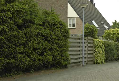 Norway spruces (Picea abies) as a hedge, pruned from the get-go, annually, to keep them small and dense.