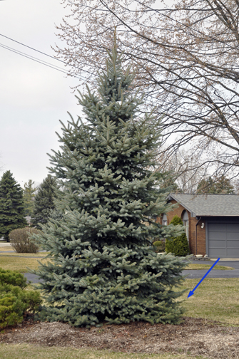 This Colorado spruce is 20 years old. Still beautifully dense, it's just beginning to lose ground at ground level -- arrow points to lowest limbs now being shaded by those above. They can't or won't grow out over the lawn.