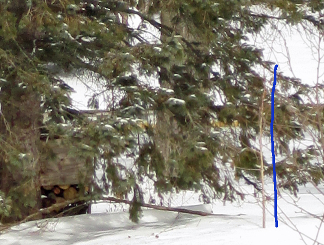 See the replacement dawn redwood? Look for the blue line we've drawn on the photo, parallel to the little tree's trunk. Spruce branches have already been cut away to give it room to grow, and more will come out year by year.