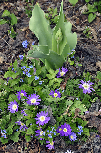 The blue flowers are not biennial forget me not but the blooms of bigleaf forget me not (Brunnera macrophylla). Brunnera's big leaves emerge after the bloom is done, and will efficiently cover all the fading anemone- and tulip foliage.