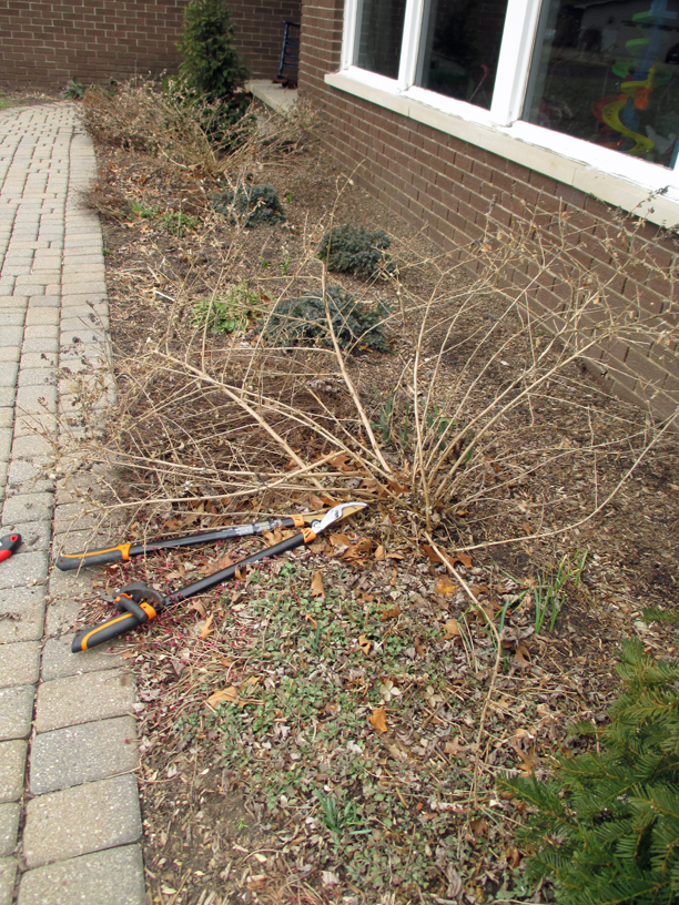 First step in spring: We cut back woody perennials like this butterfly bush (loppers at work, foreground) and cut down spent perennial stems such as those of the  threadleaf coreopsis (lapping onto the walk just beyond the butterfly bush).