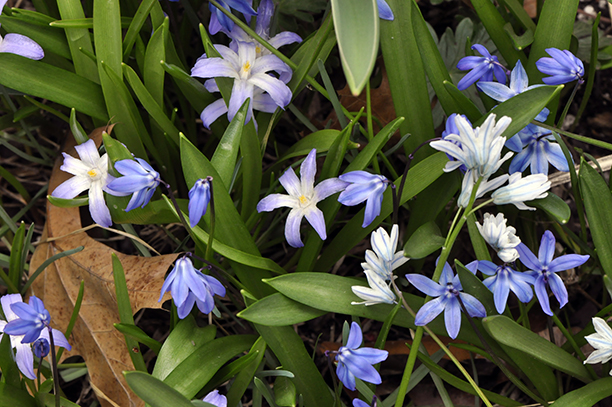 Garden a to z bulb cover up glory of the snow chionodoxa the upfacing single flowers squill scilla mightylinksfo