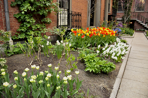 In bloom, leaves still expanding, the bulbs allow no sun to reach the soil. If there were perennials interplanted, they would be suppressed and emerge weakly.
