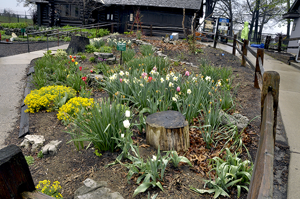 In this bed we designed and tended at the Detroit Zoo for many years (it's under the wolf exhibit now!) Japanese anemones, daylilies, sea kale and self-sown perilla and butterfly plant doubled up over all these bulbs.