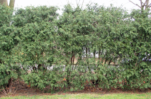 The same hedge today. The top's been allowed to become too dense and the lower branches are losing density. If the only cutting that's done is to shear the top, this is bound to happen. The top and shoulders of this hedge need thinning right away. Read on, about thinning