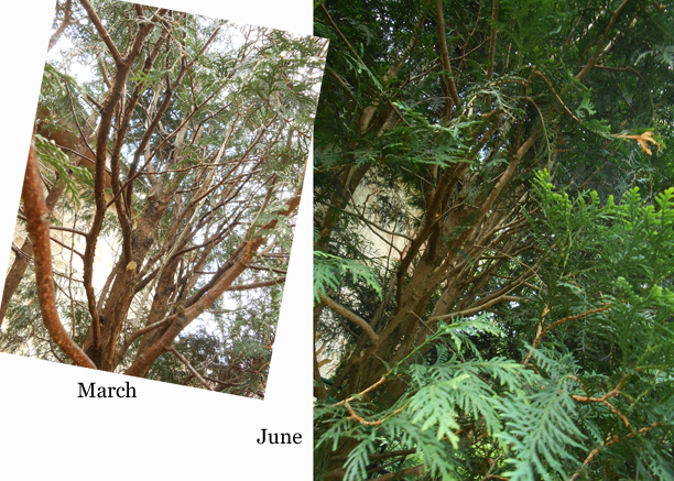 "When you're working with a plant over the long haul it helps to pick a few angles and capture some ""Then"" photos for comparison to ""Now."" Here's a look inside right after pruning last March, and that same angle two months later, in June. You grow, girl!"