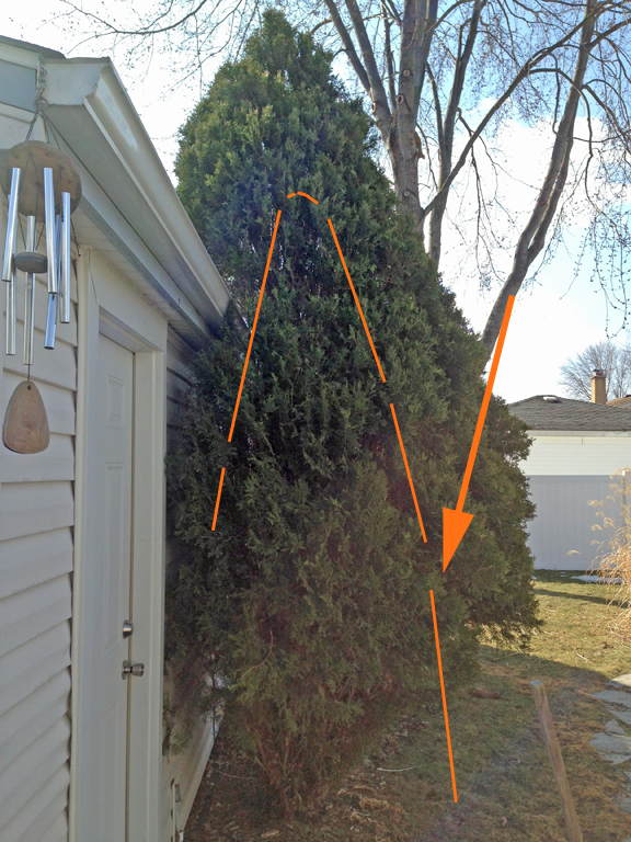 If this is your first spring of checking your arbs, start by deciding how big you'd like the plant to be. The dashed orange line might be the objective here.