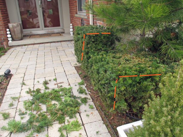 Next (not shown), we'll shear to cut the shrubs narrower and shorter (orange lines).