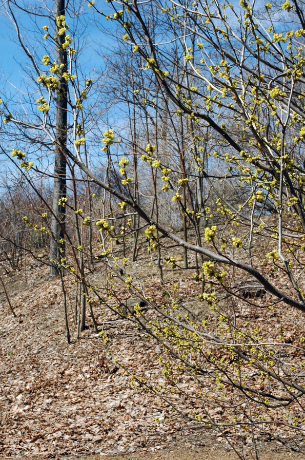 Probably not Forsythia blooming in the woods in early spring.