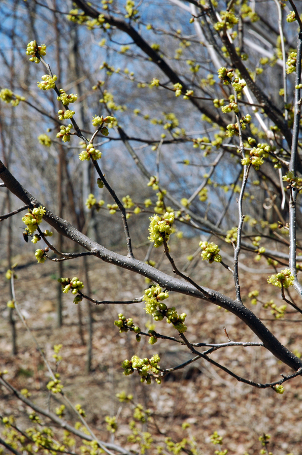 Spicebush is our guess. Lindera benzoin, native of low wet woods.