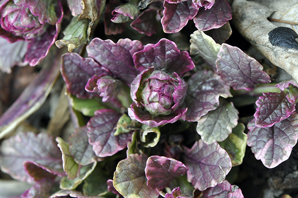 Ajuga 'Burgundy Glow' lives up to its name in spring.